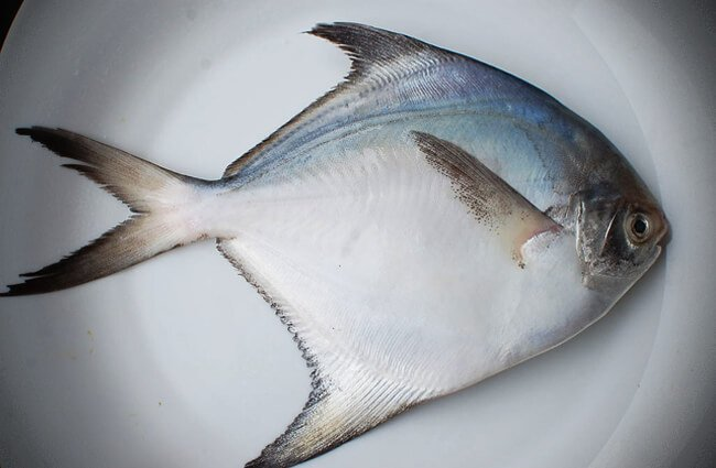 Butter fish 3pc