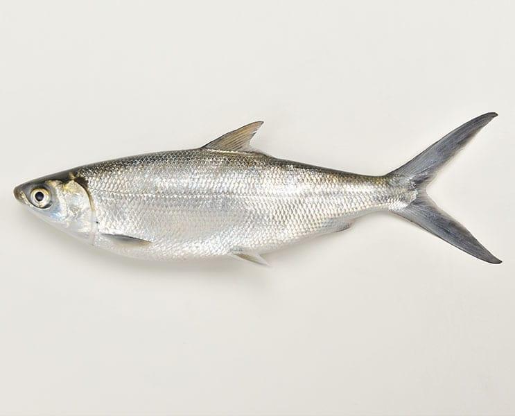 Milk Fish 1lb